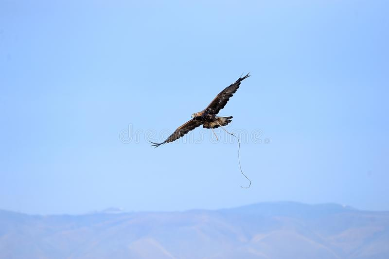 Eagle soaring over the steppe during the hunt. stock photo