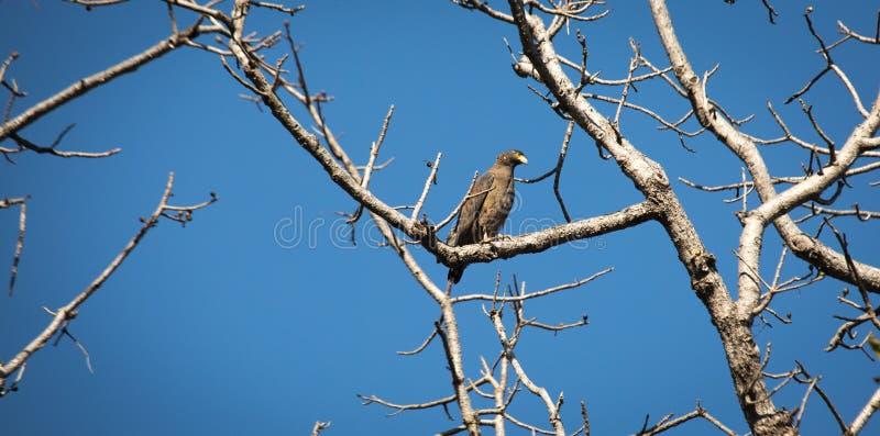 Eagle solitaire photo libre de droits