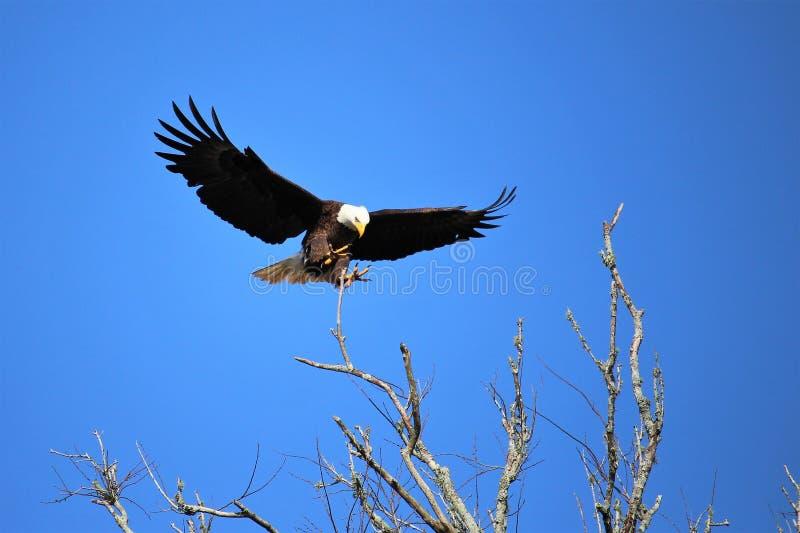 Eagle som landas nästan royaltyfri bild