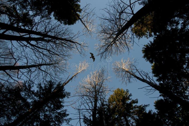 Eagle sopra la foresta fotografia stock