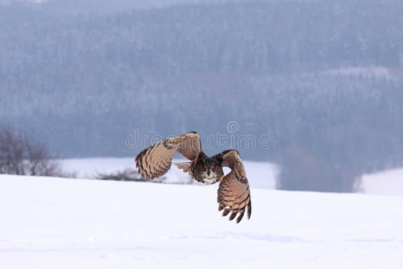 Eagle sowa, lat Dymienicy dymienica zdjęcia stock