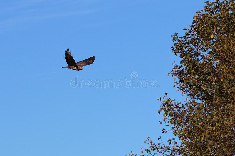 An eagle with spread wings flies against the blue sky near a tree. Flying bird is a symbol of freedom and independence. Hunting stock photo