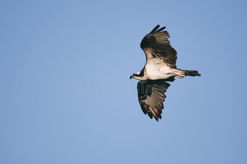 Eagle Spreading Its-vleugels stock afbeeldingen