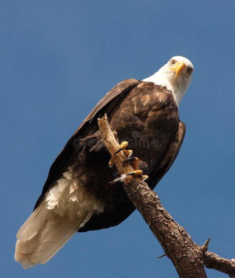 Eagle Staring immagini stock