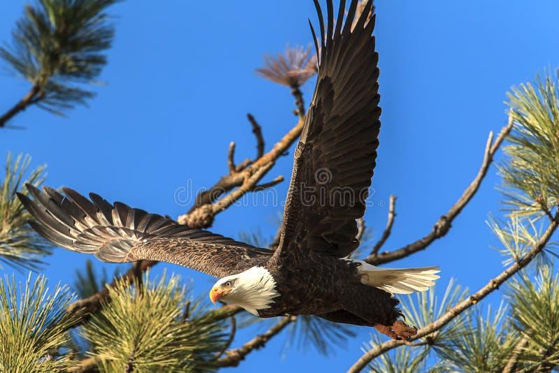 Eagle stijgt van tak in Idaho stock afbeelding