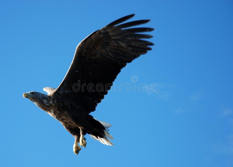 Download Eagle Striking stock image. Image of soar, feather, bald - 6673999