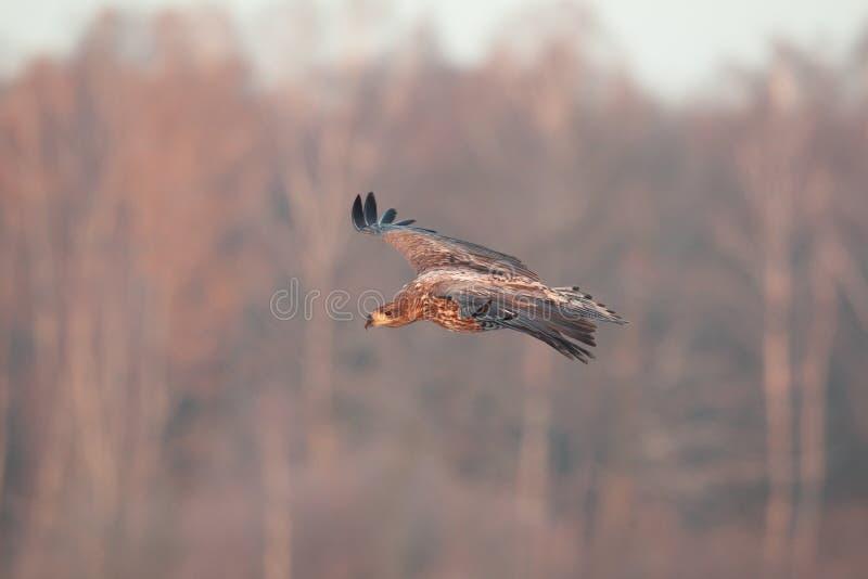 Eagle suivi par blanc photo libre de droits