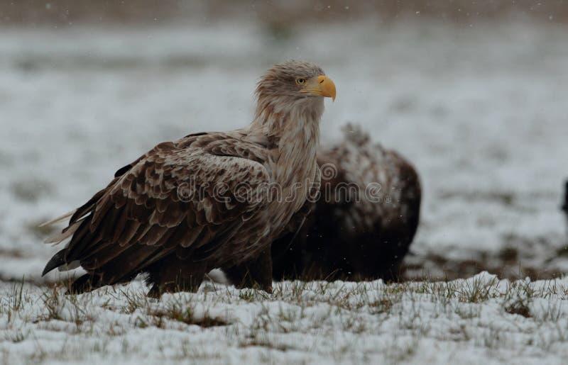Eagle suivi par blanc images stock