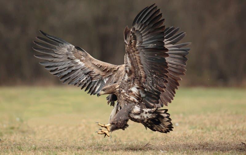 Eagle suivi par blanc photos libres de droits