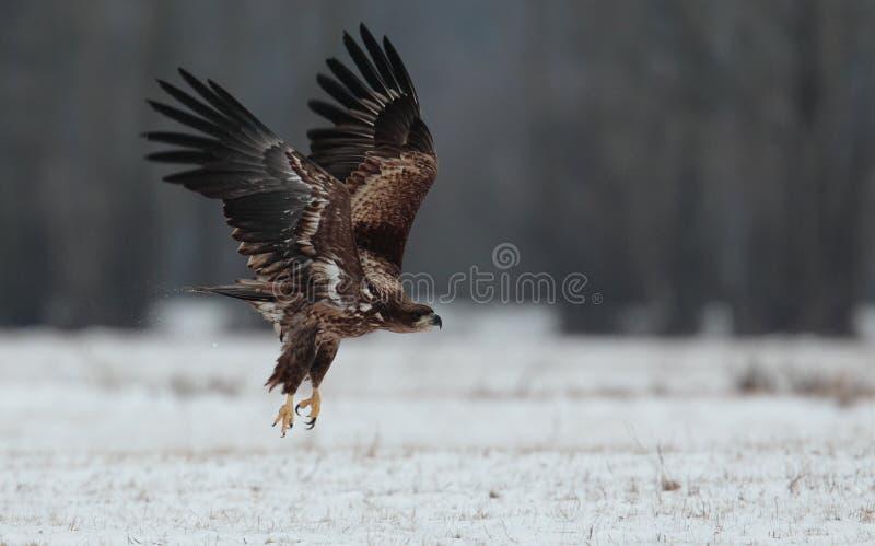 Eagle suivi par blanc photographie stock libre de droits