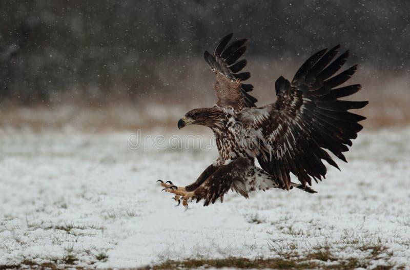 Eagle suivi par blanc images libres de droits