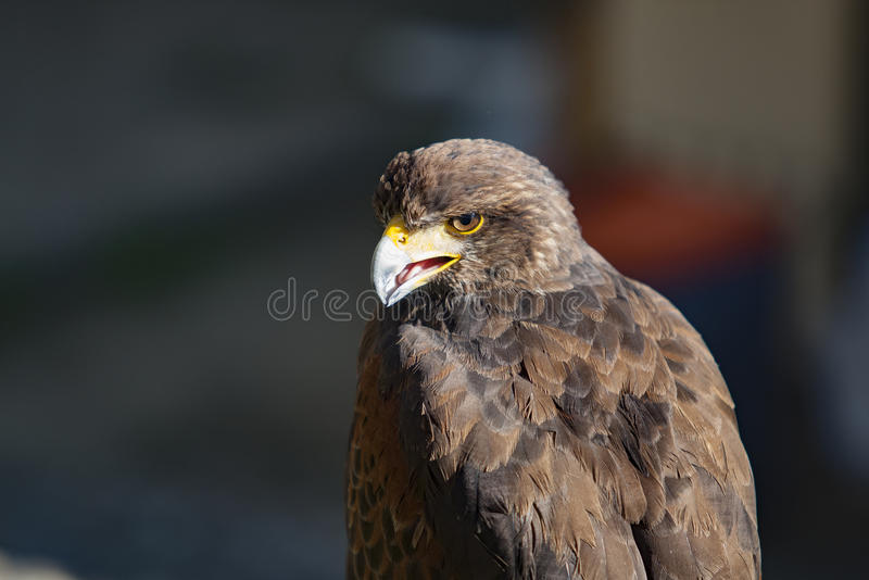 Eagle, szczegół orzeł głowa obrazy royalty free