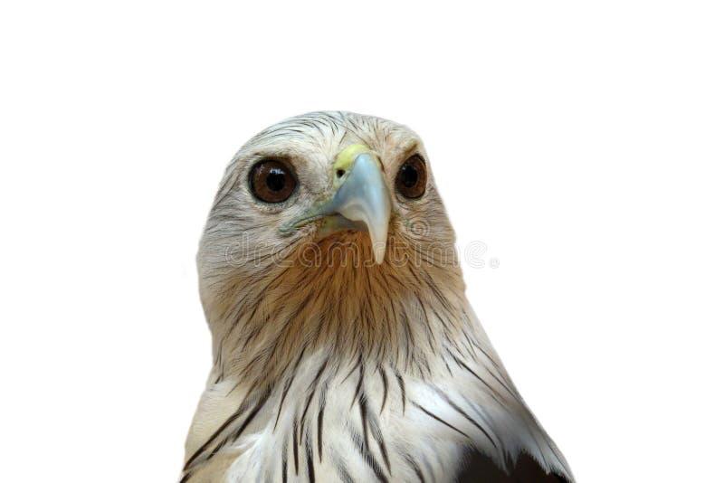Eagle, tête de faucon d'isolement sur le fond blanc image libre de droits