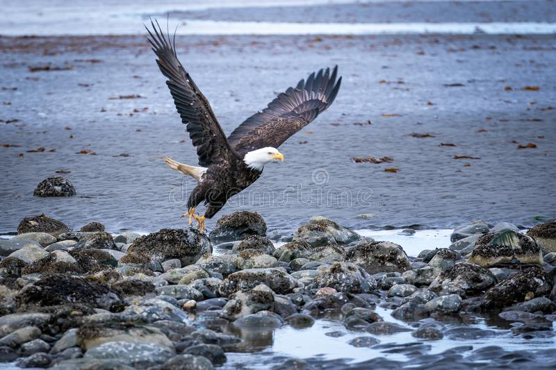 Eagle Taking Flight calvo en Homer Spit fotos de archivo