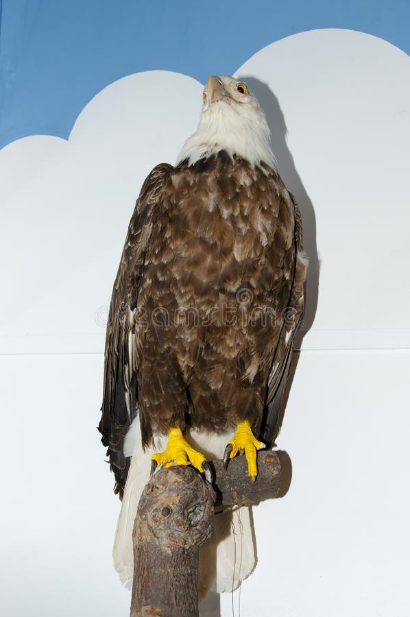 Eagle Taxidermy chauve photo libre de droits