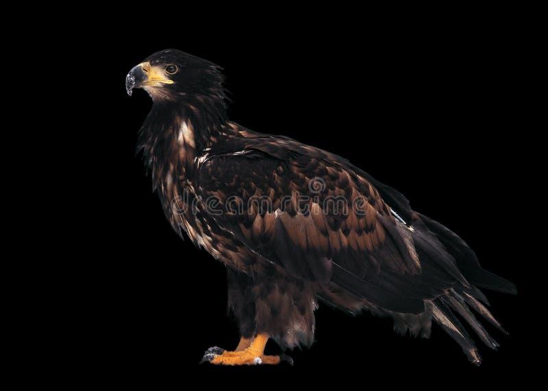 Eagle tenant le profil normal d'isolement sur le noir photo stock