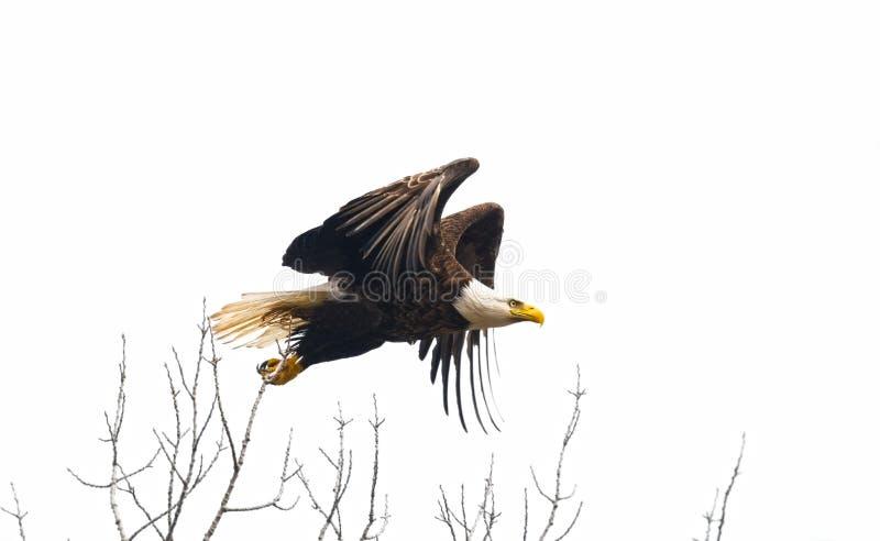 Eagle tijdens de vlucht royalty-vrije stock fotografie