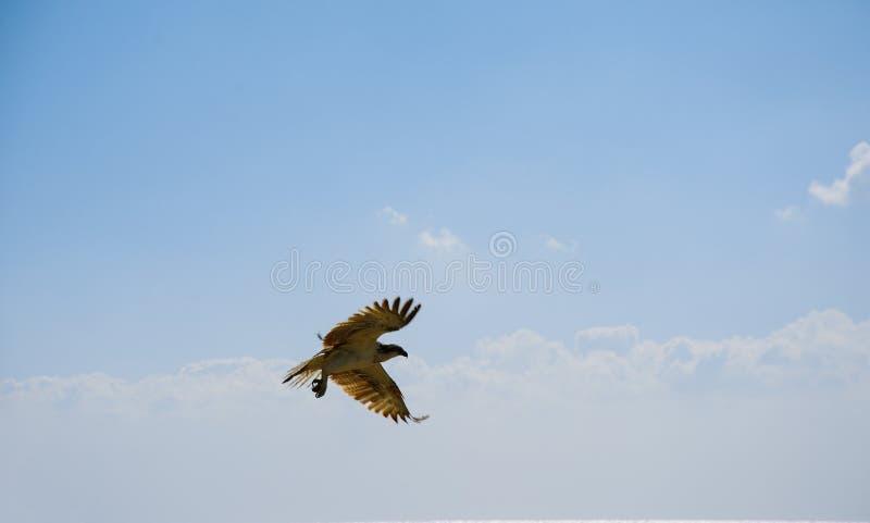 Eagle tijdens de vlucht in de hemel stock afbeelding