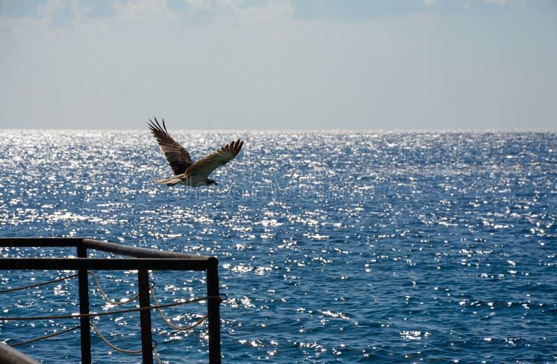 Eagle tijdens de vlucht in de hemel royalty-vrije stock fotografie