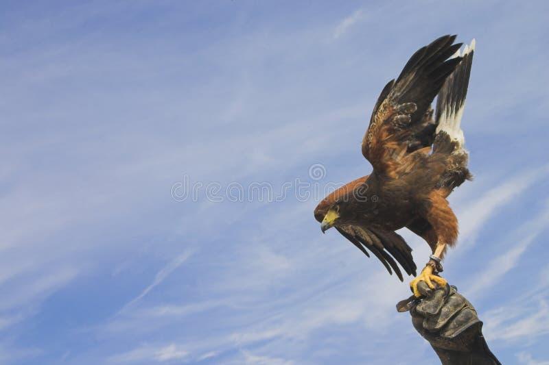 Eagle towards the sky. Eagle with a blue sky stock photo