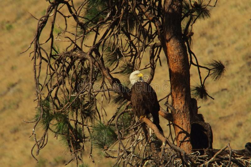 Eagle in a tree royalty free stock image