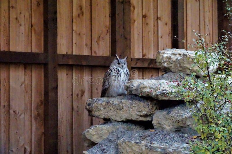 Eagle uggla som sitter på en sten som söker efter rovet royaltyfria bilder