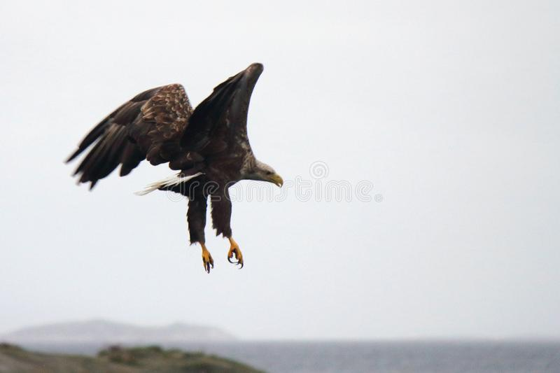 Eagle in ugly posture. Sea eagle diving in a ugly posture Lofoten islands, arctic archipelago situated in northern Norway royalty free stock photos