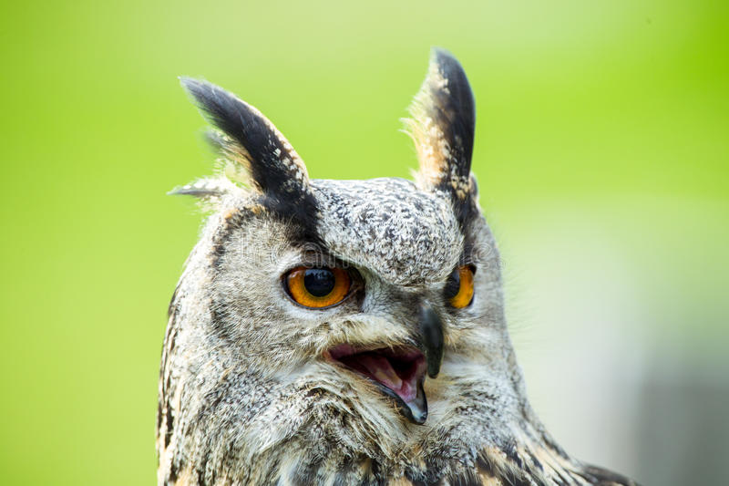 Eagle-uil royalty-vrije stock foto's