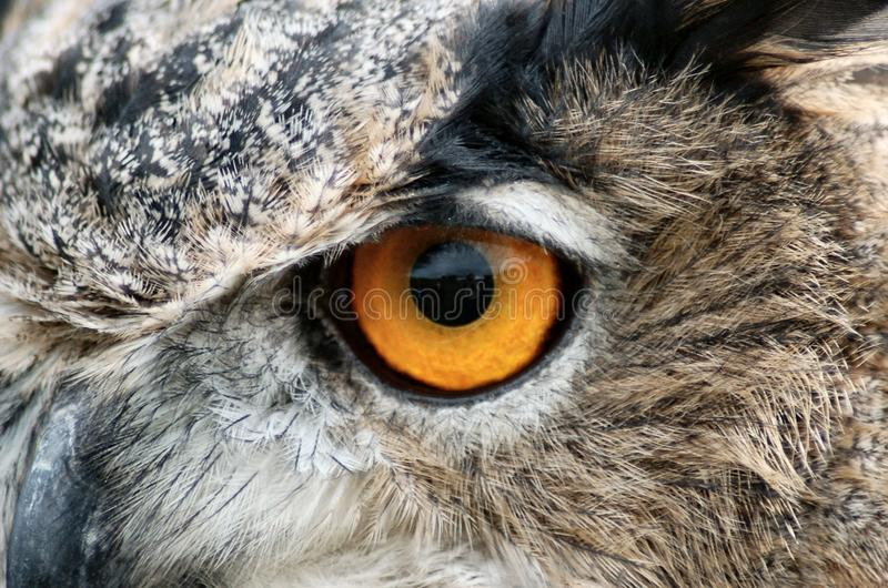 Eagle-uil` s oog stock foto