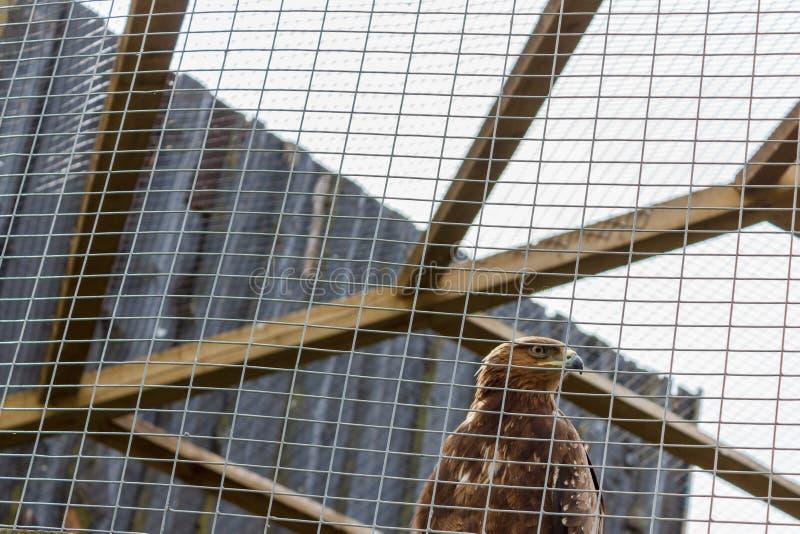 Eagle in una gabbia Aquila triste Falco triste Uccello triste tristezza Eagle i immagini stock libere da diritti