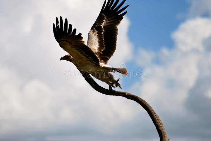 Eagle-vlucht royalty-vrije stock afbeelding