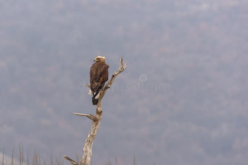 Eagle vola su un ramo fotografie stock