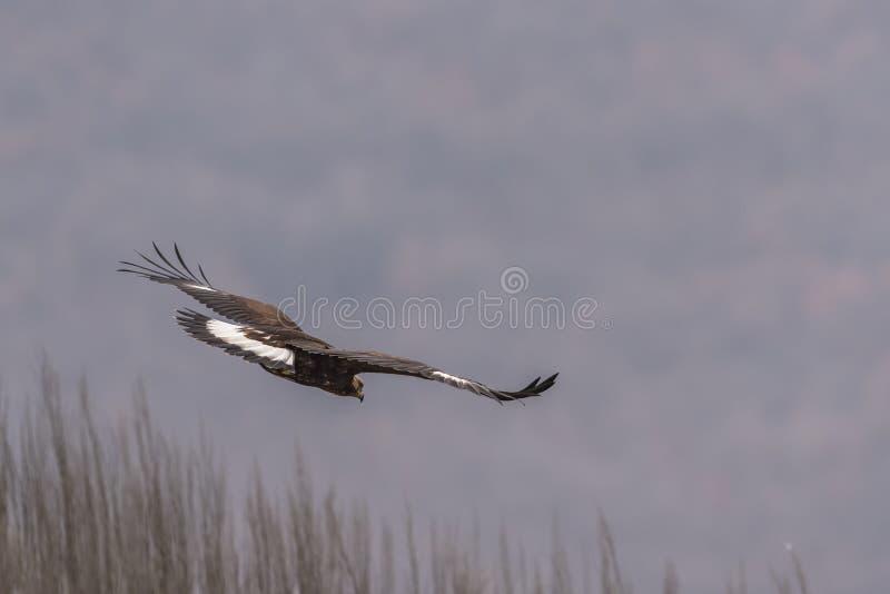 Eagle vola su un ramo fotografie stock libere da diritti