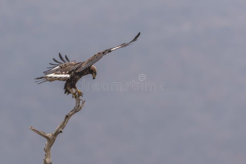 Eagle vola su un ramo fotografia stock
