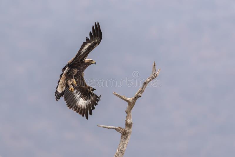 Eagle vola su un ramo fotografia stock libera da diritti