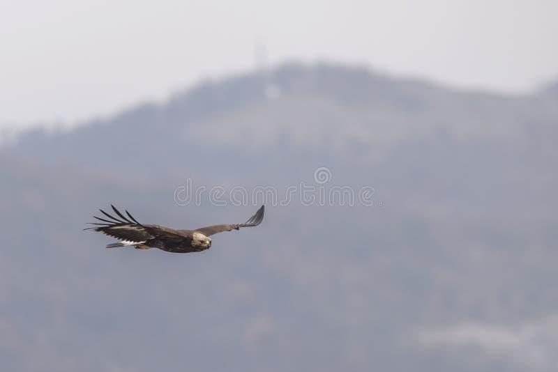 Eagle vola su un ramo immagini stock