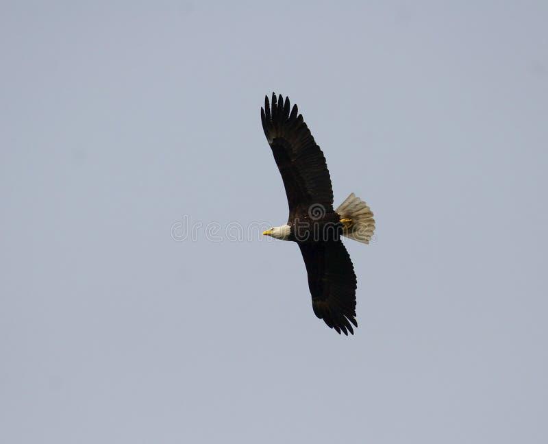 Eagle In Volo Immagini Stock