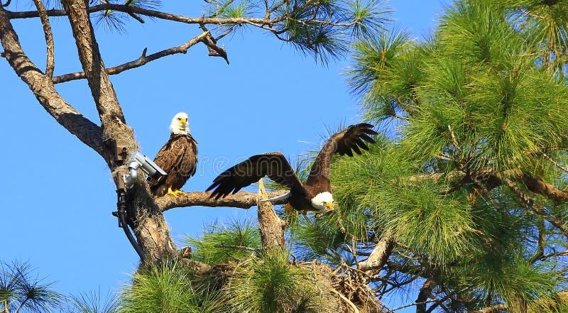 Eagle in volo  fotografie stock