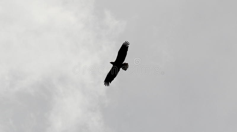 Eagle in volo immagine stock