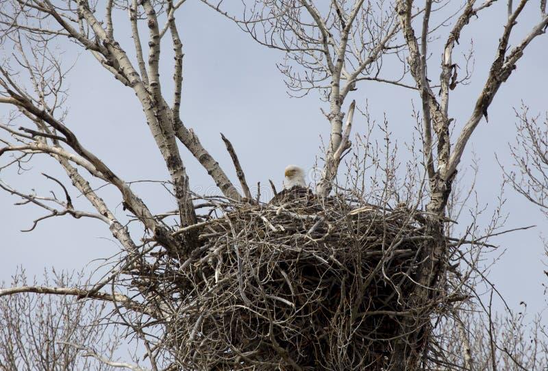 Eagle w gniazdeczku obrazy royalty free
