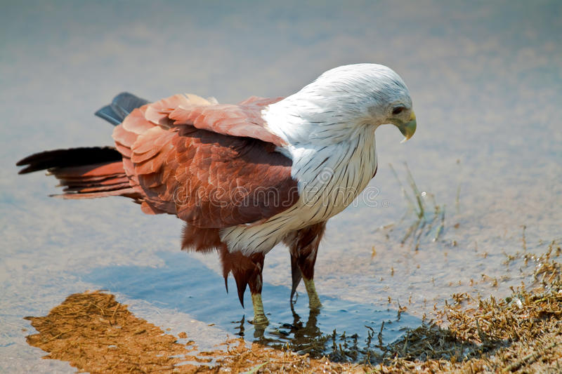 Eagle wading in water stock image