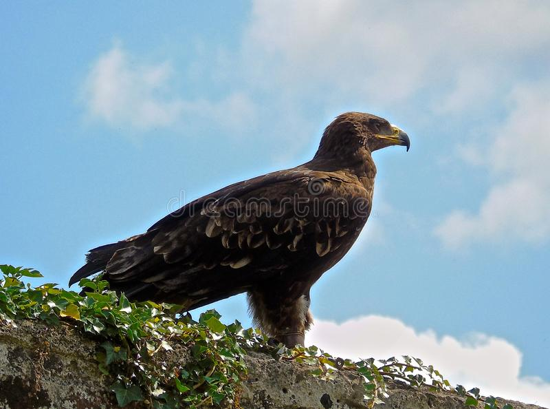 Eagle on a wall. Golden eagle posing, looking off into the distance on a blue sky background. Its feathers detailed and individual royalty free stock images