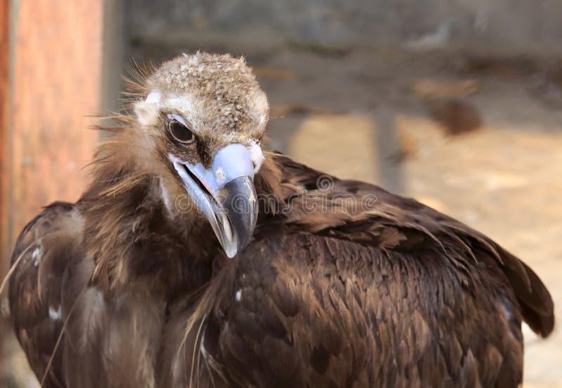 Eagle was treated royalty free stock photo