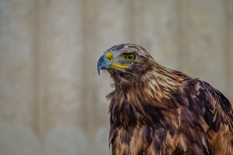 Eagle watching closely the prey. With beautiful blurred background royalty free stock photography