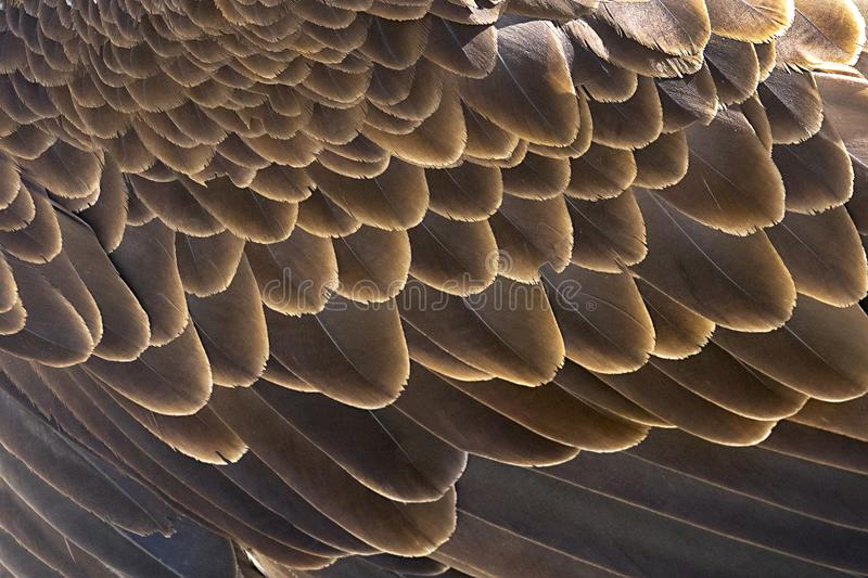 Eagle Wing Feathers Background calvo immagine stock libera da diritti
