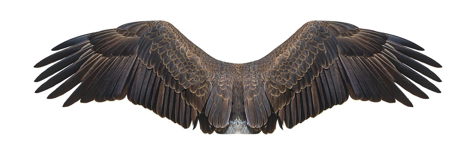 Eagle Wings Isolated On White calvo fotografia stock