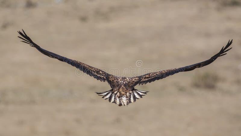 Eagle Wingspan dalla coda bianca immagini stock