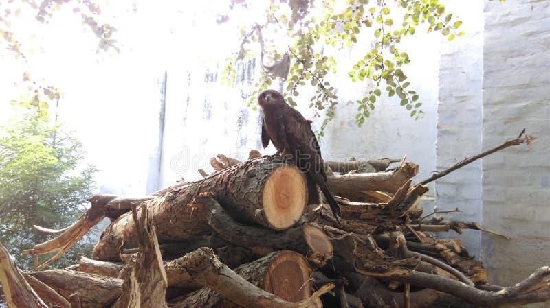 Eagle On Wood, der in camera aufpasst lizenzfreie stockfotografie