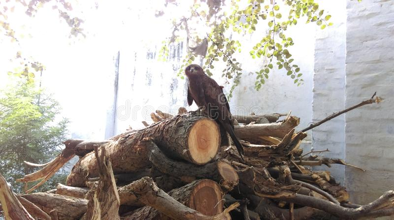 Eagle On Wood observant in camera photographie stock libre de droits