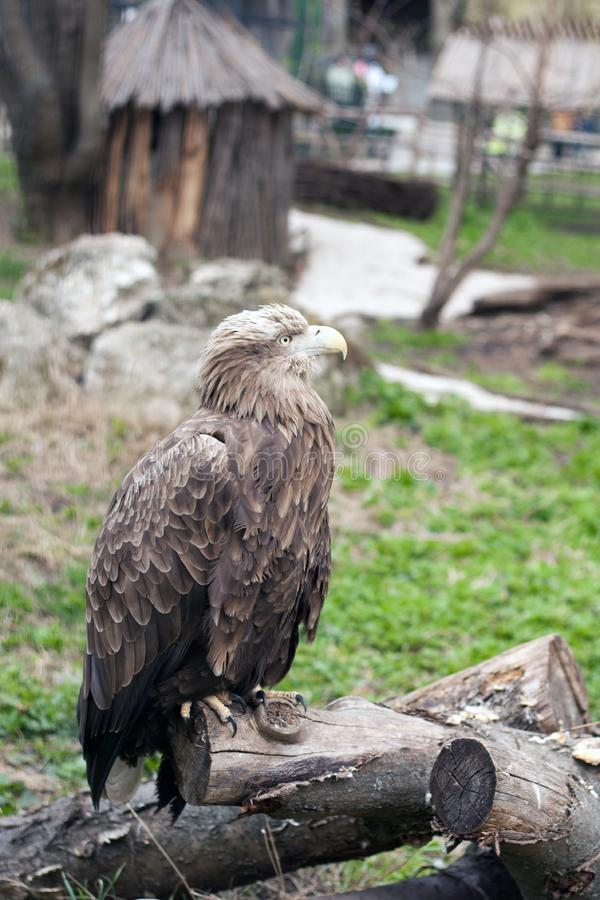 Eagle at the zoo royalty free stock photography